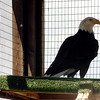"Adam the bald eagle turns to see his fans.<br /> The Birds of Prey Foundation of Broomfield held an open house on Saturday May 1, 2010.<br /> For more photos , go to  <a href=""http://www.dailycamera.com"">http://www.dailycamera.com</a><br /> Cliff Grassmick / May 1, 2010"