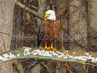 Eagle posing in Smoke hole - 12/30/11