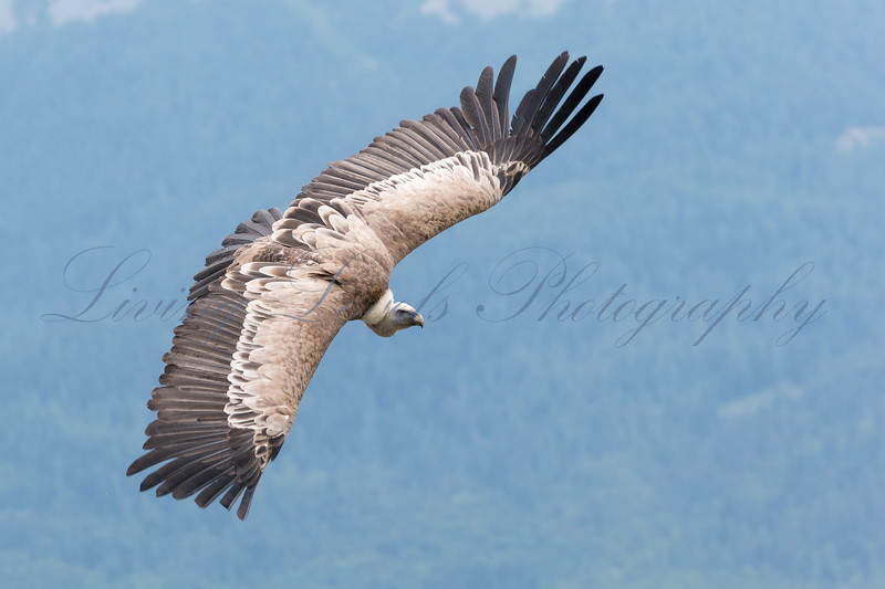 A Gryphon Vulture (Gyps fulvus) has just launched from its perch over Lac de Serre Ponçon