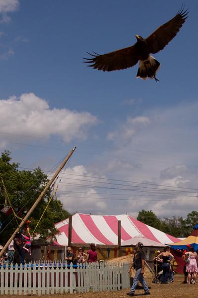 Harris hawk searching for prey