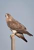 Swainson's Hawk,male