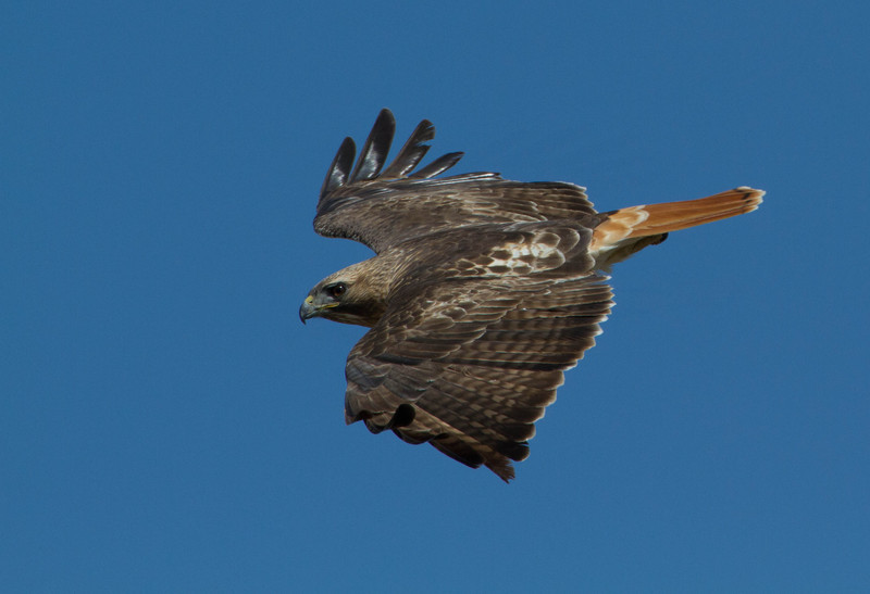 Red Tailed Hawk in dive.