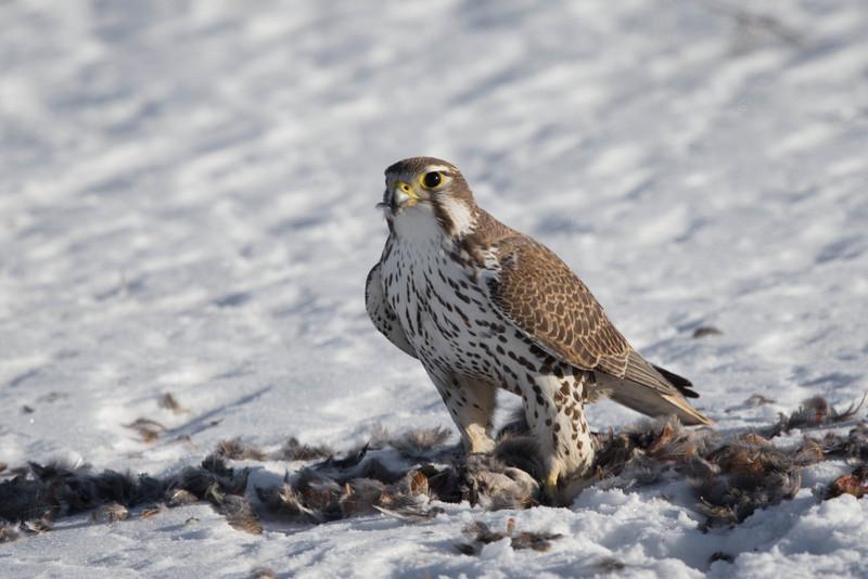 Prairie Falcon feeding on Sharp Tailed Grouse