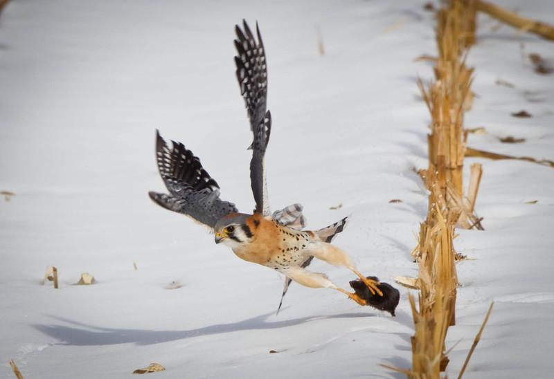 American Kestrel grabbing  a mouse