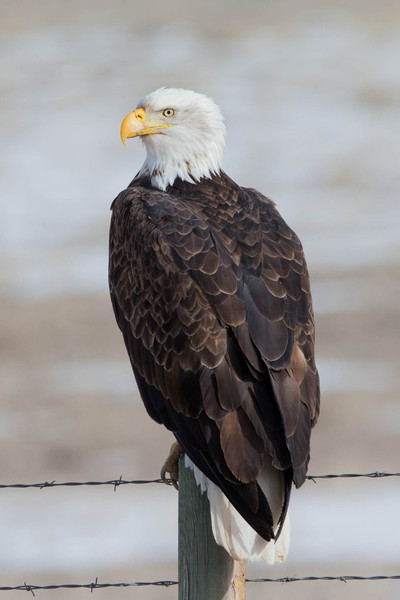 Bald Eagle on fence post- Interstate I 25 Wyoming