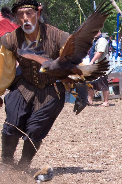 Ray Pena working a Harris hawk