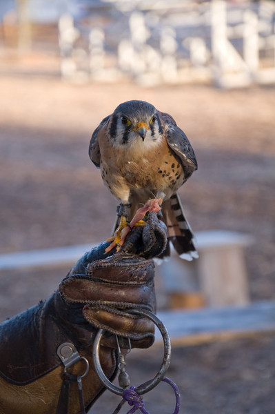 Ace, a Kestrel Falcon.
