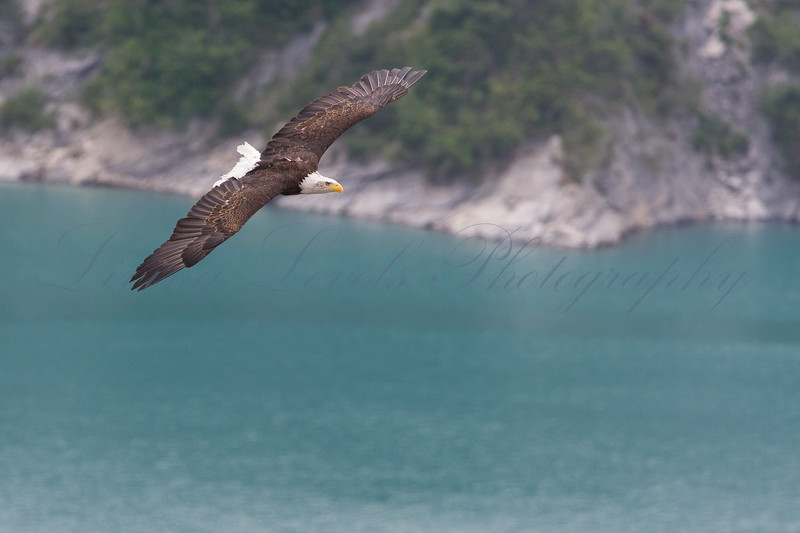A Bald Eagle (Haliaeetus leucocephalus) has just launched from its perch over Lac de Serre Ponçon