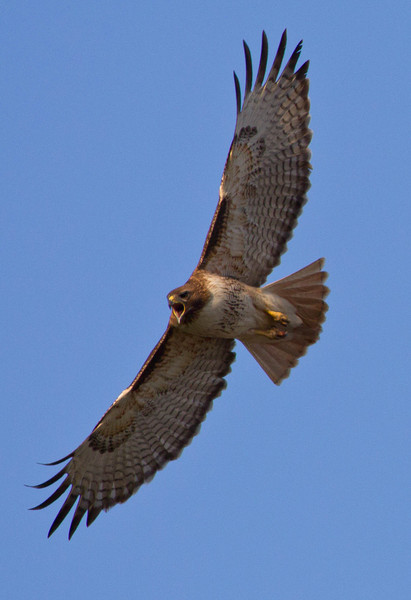 Red Tailed Hawk,female calling.