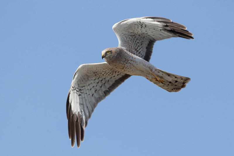 Northern Harrier,male.