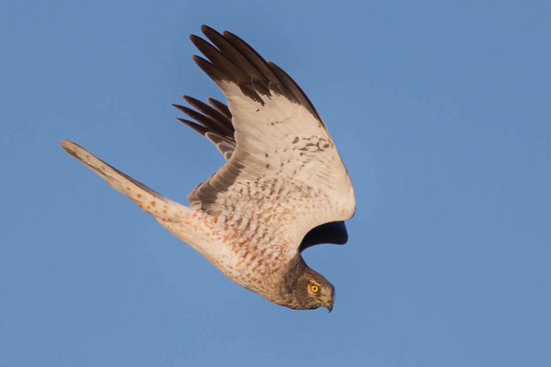Northern Harrier,male in dive.