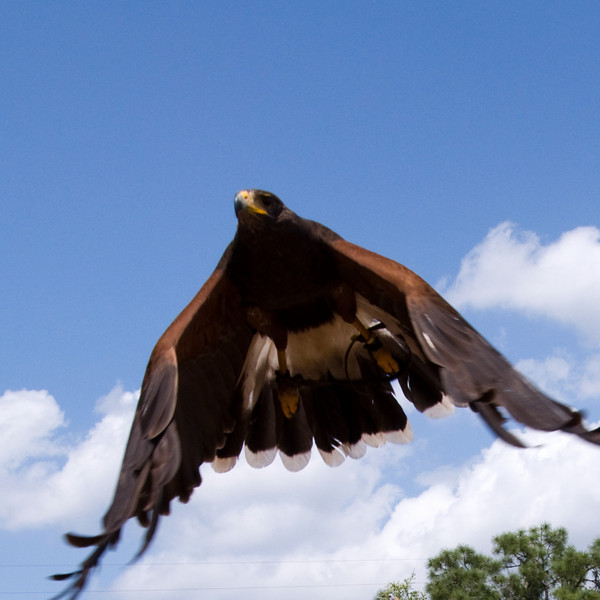 Harris hawk - looks a little like a stealth bomber, doesn't it?
