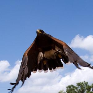Harris hawk - looks a little like a stealth bomber, doesn't it?