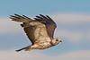 Immature Swainson's Hawk.