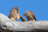 Just fledged American Kestrels-two females feeding.
