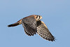 Immature male American Kestrel