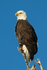 Bald Eagle-Cherry Creek State Park-Colorado