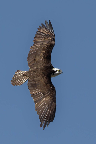 An Osprey searching for prey