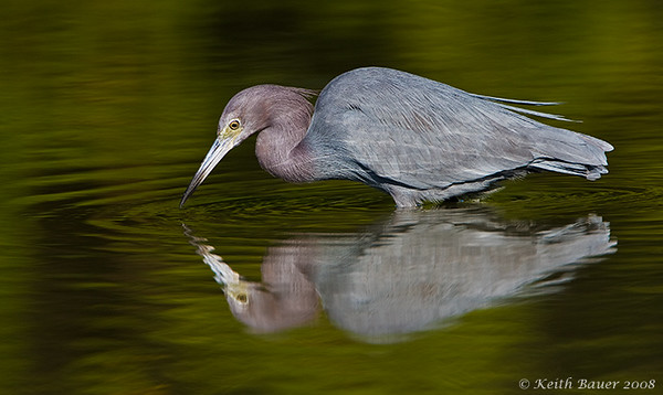 Little Blue Heron - Who Is That?