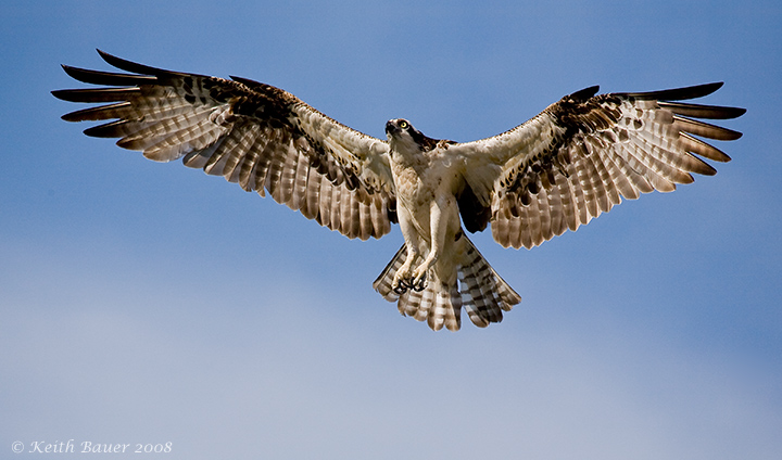 Osprey Full WingSpread