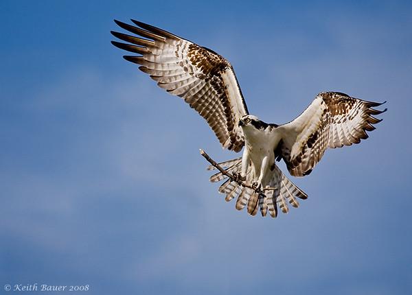 Osprey bringing in nesting material - up close