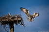 Osprey bringing in nesting material