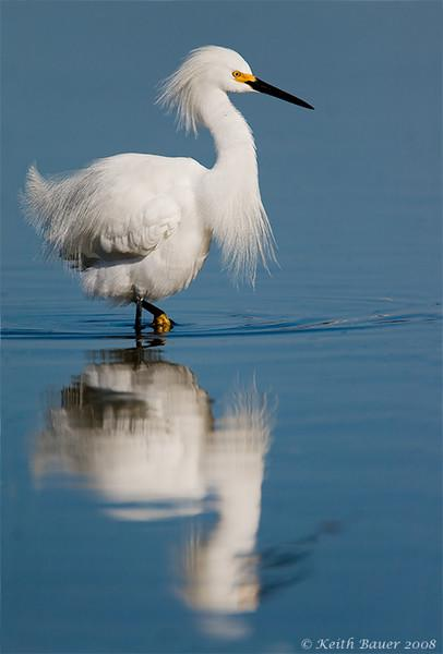 Snowy Egret Reflection