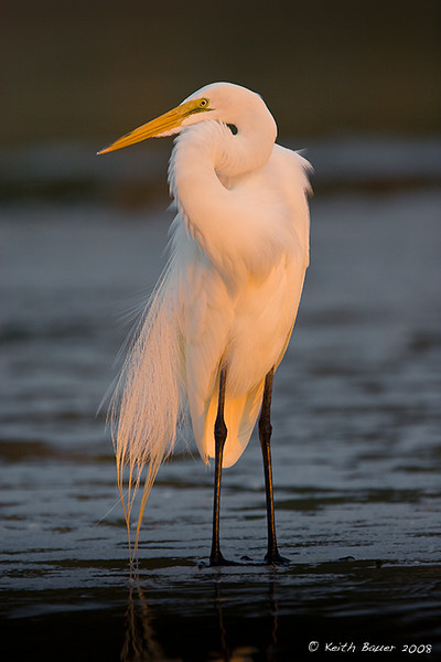 Great White Egret - Evening Light