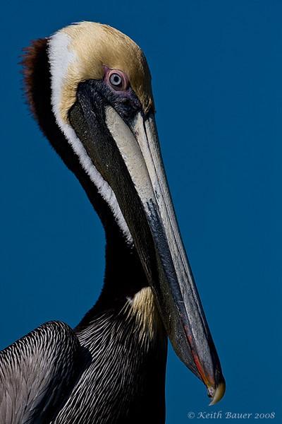 Pelican Portrain