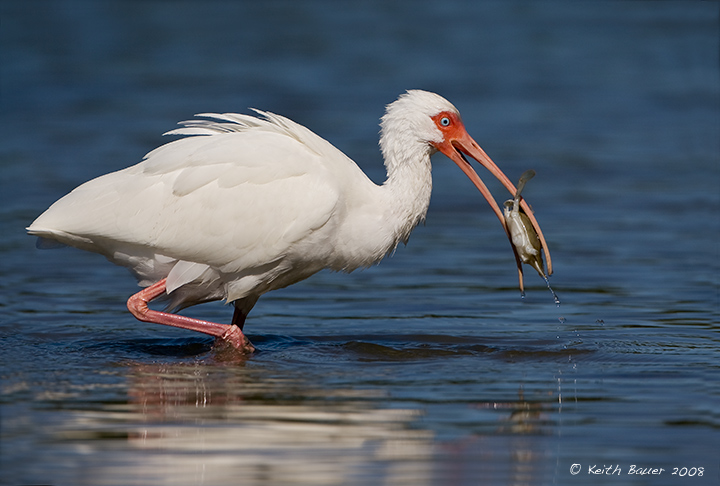 White Ibis -- Snack Time