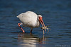 White Ibis with Crab Lunch