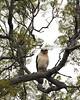 'io - Hawaiian Hawk