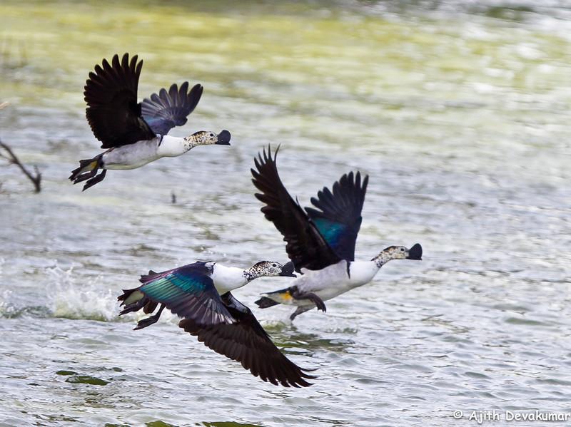 Comb Ducks in flight<br /> Photo @ ICRISAT, Hyderabad