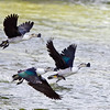 Comb Ducks in flight<br /> Photo @ ICRISAT, Hyderabad