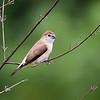Indian Silverbill<br /> Photo @ Narsapur Reserve Forest near Hyderabad