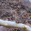 Brown Fish Owl<br /> Photo @ Ranthambore National Park, RJ, India