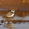 Little-ringed Plover<br /> Photo @ Osman Sagar Lake, Hyderabad