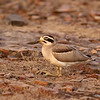 Great Thick Knee (or) Great Stone Curlew<br /> Photo @ Ranthambore National Park, RJ, India