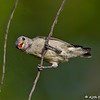 Flowerpecker collecting nesting material in the form of a spider web<br /> Photo @ Lotus Pond, Hyderabad