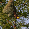 Baya Weaver nesting<br /> Photo behind KPHB Hyderabad
