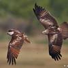 Brahminy Kites - fighting over fishing rights :)<br /> Photo @ Pocharam Lake, Medak District, AP