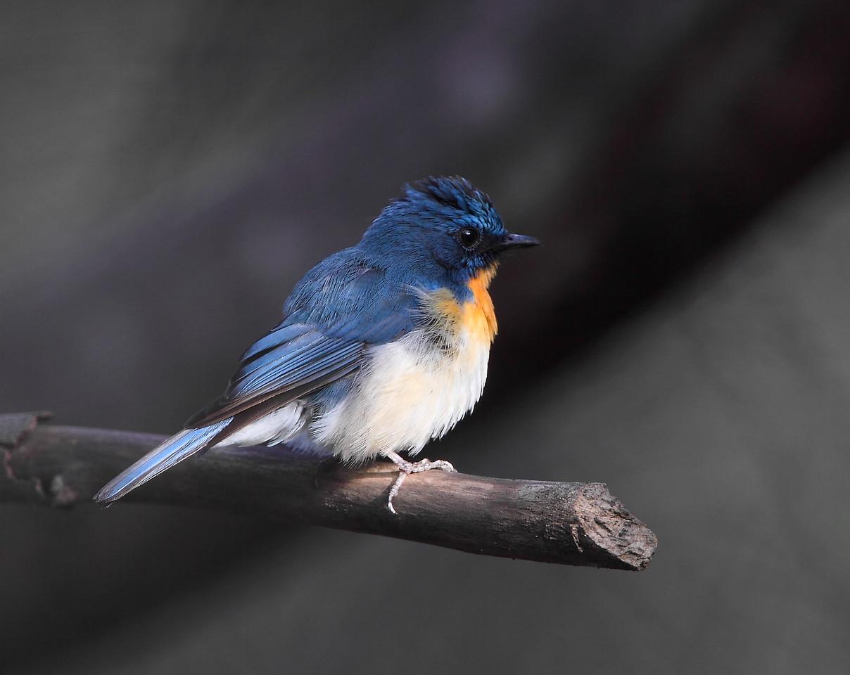 Tickell's Blue Flycatcher<br /> Photo @ Lotus Pond, Hyderabad
