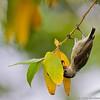 Inverted Flowerpecker ;)<br /> Photo@ Lotus Pond, Hyderabad