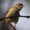 Tailorbird<br /> Photo @ Lotus Pond, Hyderabad