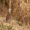 Grey Francolin<br /> Photo @ ICRISAT, Hyderabad