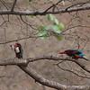 White-throated Kingfisher Interaction<br /> Photo @ Ranthambore National Park, RJ, India