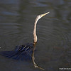 Darter<br /> Photo @ Ranthambore National Park, RJ, India