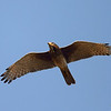 White-eyed Buzzard in flight<br /> Photo @ Ranthambore National Park, RJ, India