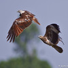 Brahminy Kite interaction<br /> Photographed at Pocharam Lake, Medak District