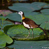 Pheasant-tailed Jacana<br /> Photographed at Lotus Pond, Hyderabad